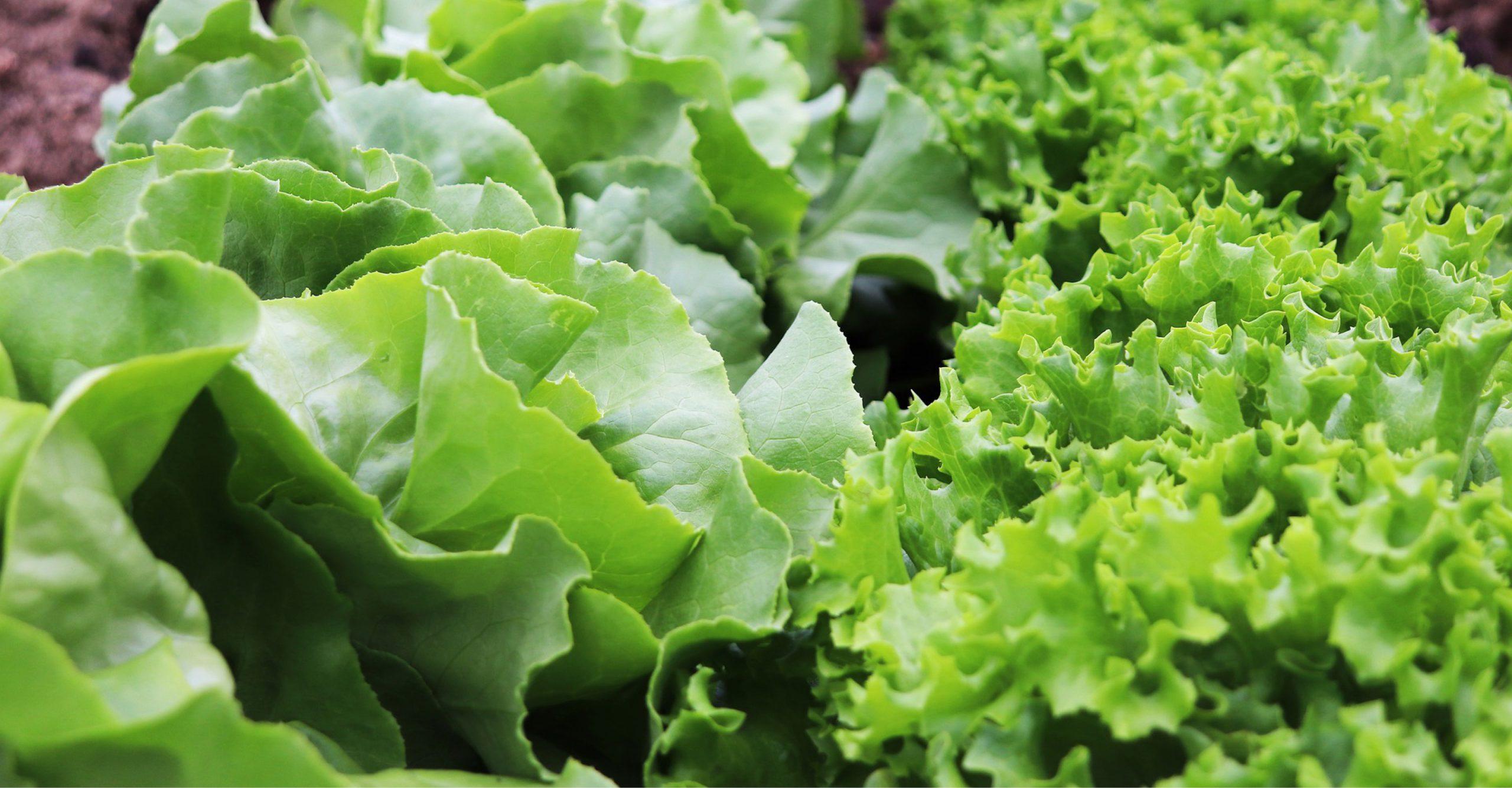 Curiosità e benefici della lattuga e dell'insalata Gentilina